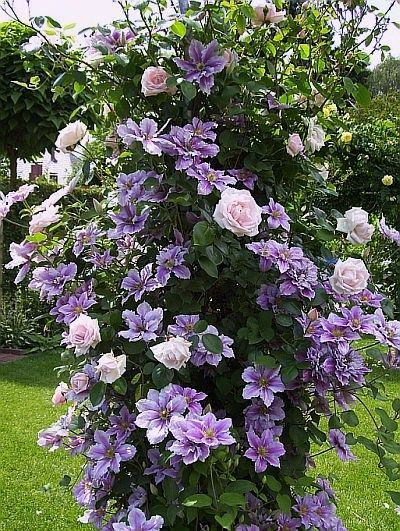 """Clematis """"Nelly Moser"""" and climbing rose - Christine's garden in Artland / Lower Saxony:"""