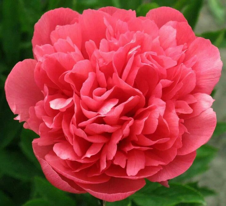 Coral Garden Rose coral garden roses - zandalus