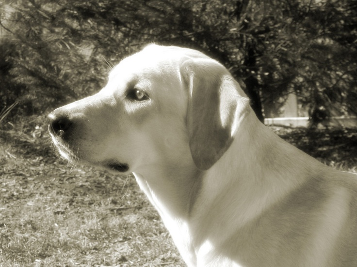 My Pearl... #labrador #dog, #photography by © Aaron Lademann