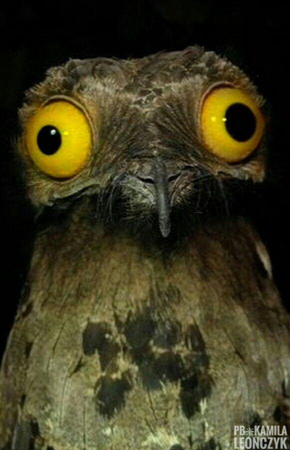 Thecommon potoo,grey potoo,lesser potooorpoor-me-one(Nyctibius griseus), is a nocturnalbirdwhich breeds in tropicalCentralandSouth AmericafromNicaraguato northernArgentinaand northernUruguay. Thenorthern potoo(N. jamaicensis) was formerly classified as asubspeciesof this specie