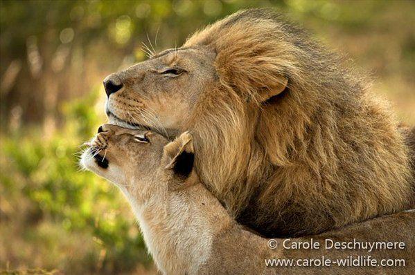 Love amongst #lions.  Pic by Carole Deschuymere http://www.carole-wildlife.com/  #lionweek