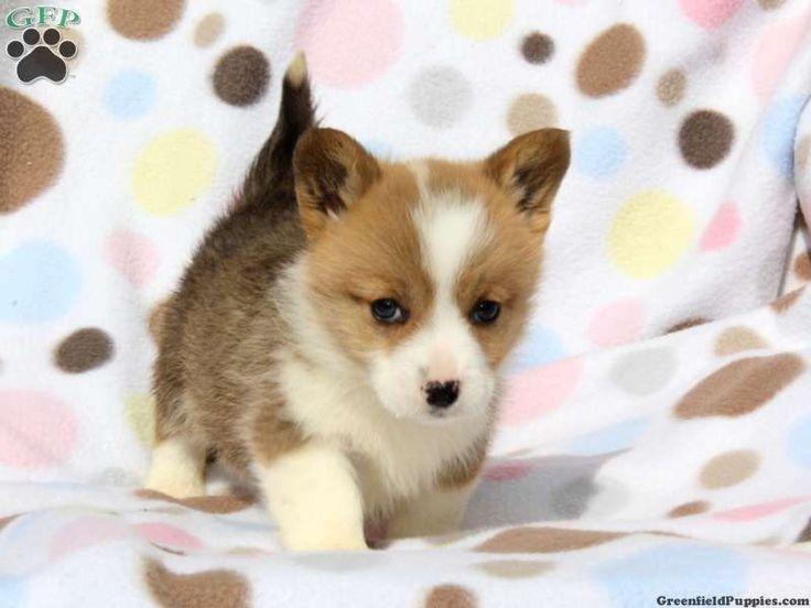 Welsh Corgi Puppies .