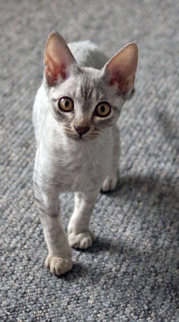 Devon Rex - En 1960 une britannique découvre, près d'une mine d'étain abandonnée du Devonshire, une portée de chats. Elle remarque un sujet qui présente un étrange pelage frisé. Elle le marie avec une chatte tricolore,  seul 1 chaton présentera la fourrure caractéristique de son père. Dix ans plus tôt, une autre mutation donnant naissance à un chat frisé était apparue en Cornouaille. Les éleveurs donnèrent à la race le nom du comté où elle était apparue.