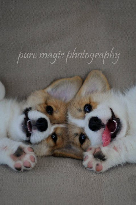 This is honestly the most adorable corgi picture I have seen! Look at their adorable smiling faces!!