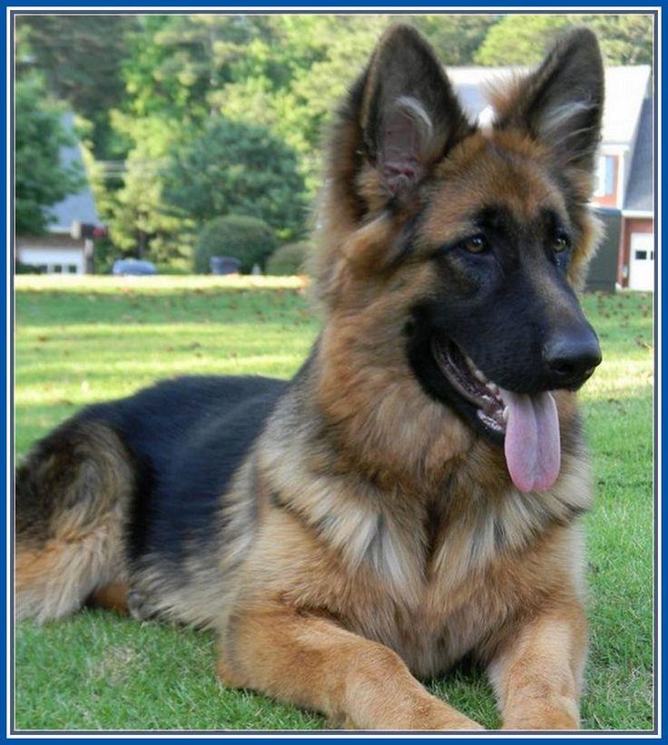 Remarkable King German Shepherd Dogs More Design http://joesquest.com/dog-breeds/king-german-shepherd-dogs/