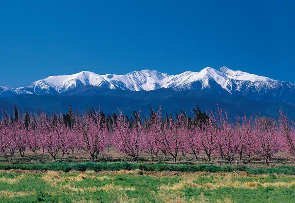Canigou with cherry blossom - Pyrénées - France  Les beaux pêchers de la vallée de la Têt !