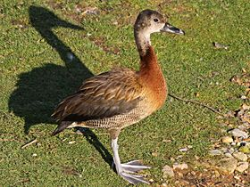 White-faced Whistling-Duck x Black-billed Whistling-Duck, Blakeney, 6-Oct-12