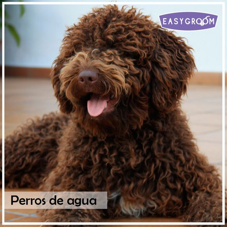 Perros de agua #Dog #Puppy #Standard #Raza #EasyGroom #Perro #Canino