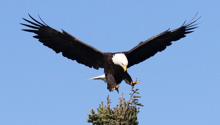 The Eagle by Alfred Lord Tennyson~~~  He clasps the crag with crooked hands; Close to the sky in lonely lands, Ringed with the azure world, he stands.  The wrinkled sea beneath him crawls; He watches from his mountain walls, And like a thunderbolt he falls.