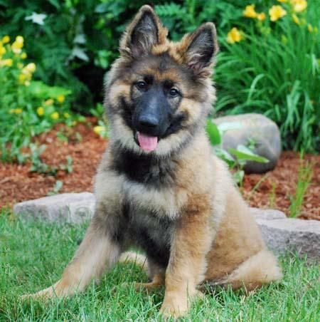 fluffy German Sheppard puppy - we had one called 'Zara' when we were growing up & she lived til 17yrs old