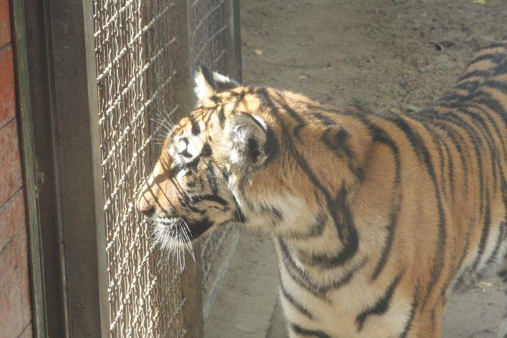 tiger :3