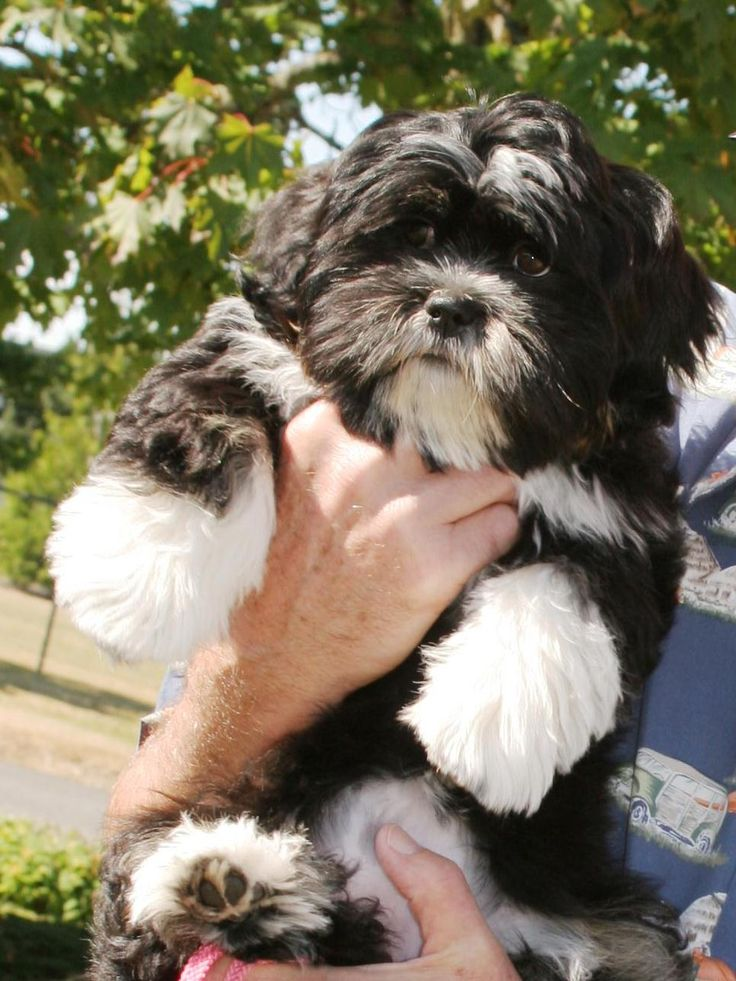 Cammey the Lhasa Apso we love