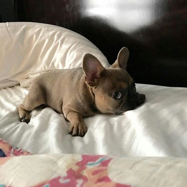 """""""Good morning"""" ☀☀☀, Theo, the tiny French Bulldog Puppy, @theo_the_tiny_frenchie"""