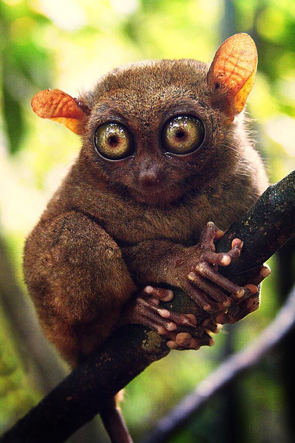 Tarsier. So tiny and cute! I'd love to have one but they are suicidal in captivity.