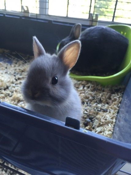 Stunning litter of Netherland Dwarves | Mayfield, East Sussex | Pets4Homes