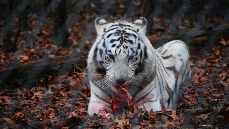 white tiger eat meat - http://1080wallpaper.net/white-tiger-eat-meat.html