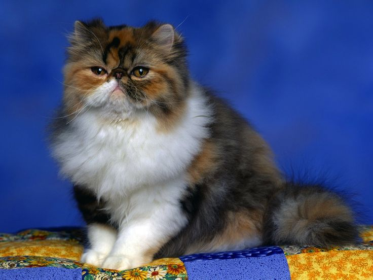 Cute Persian Cat HD Wallpaper
