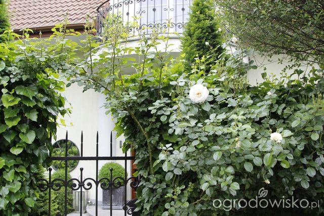 Ogród nie tylko bukszpanowy - część III - strona 604 - Forum ogrodnicze - Ogrodowisko