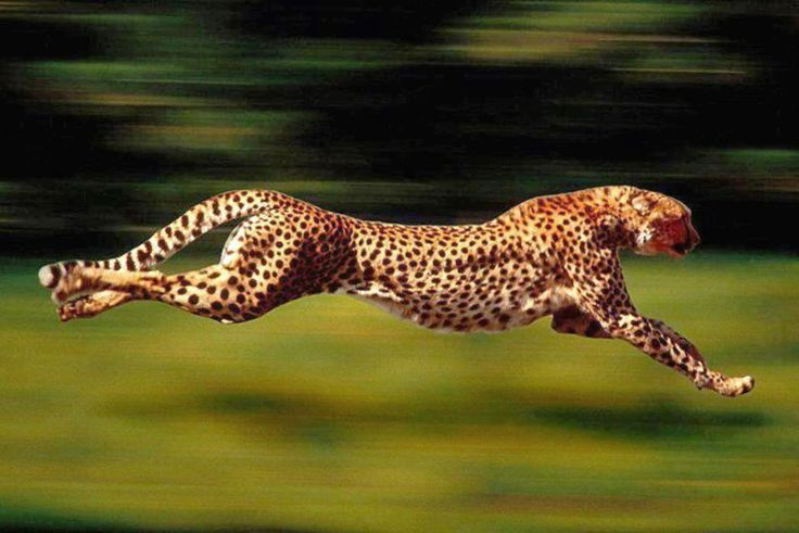 Image result for jaguar animal running full speed