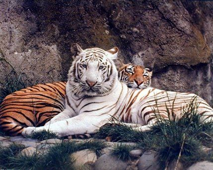 Simply Suburb! Look wow that is what the first thing comes into your and your guests mind after seeing this beautiful white and yellow tiger animal art print poster. This poster depicts the image of two tigers white and yellow sitting together in a very calm mood is sure to makes this poster a center of attraction. You will surely love this poster at every moment you look at it or you may experience the beauty of wildlife animal. It will bring sense of unique character and charm to your…