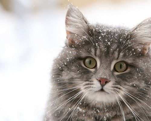 Snowy Kitty