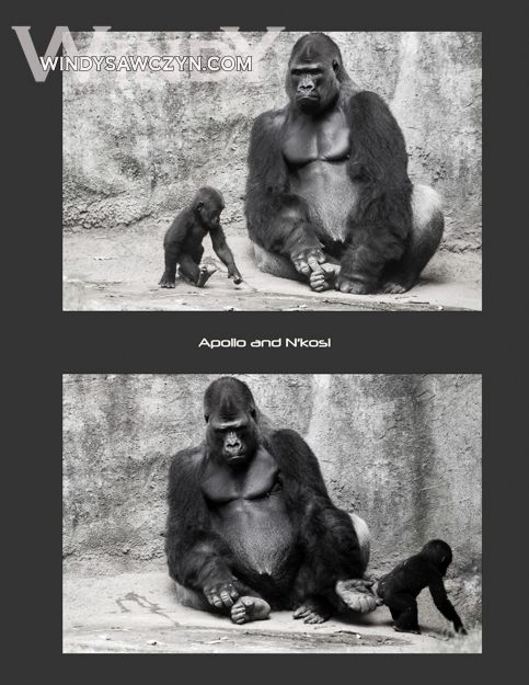 Apollo looks very small next to daddy #gorilla at #NCZoo. More here. http://zoobabyprints.blogspot.com/2013/07/apollo-gorilla-comes-to-visit-daddy.html