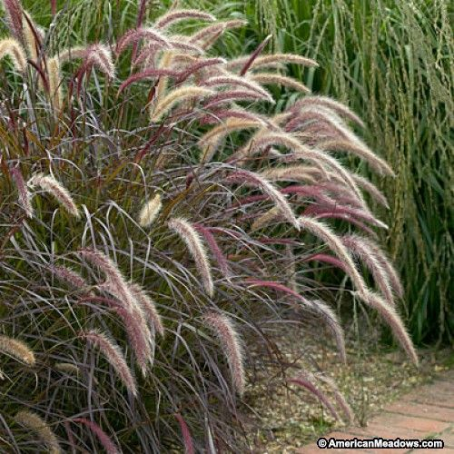 25 beautiful pennisetum setaceum ideas on pinterest for Ornamental grass with purple plumes