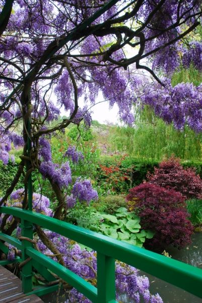 Purple wisteria blooming on the Japanese bridge. Water lily pond in Monet's Garden - Giverny, France: Monets Garden, Claude Monet, Beautiful, Gardens, France, Place, Flower, Giverny