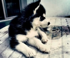 .Random Things, To Kim, Future Pup, Baby Animal, Future Pets, Adorable, Goals In Life, Husky Puppies, Animal Obsession