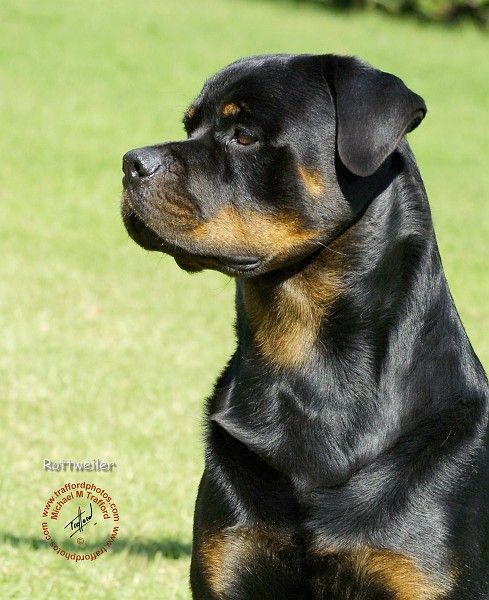 Gorgeous Rottie <3 this is how dozer will look:]
