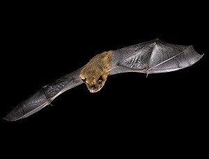 Bats are one of just three hibernating UK mammals (Photo: FLPA / Alamy)
