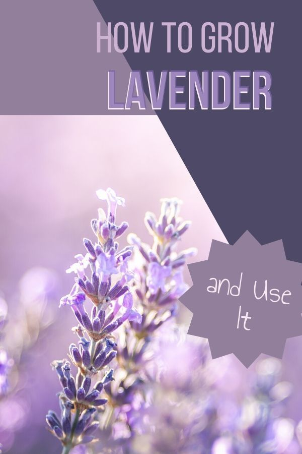 How To Grow Lavender And Use It Little Sprouts Learning Modern Design In 2020 Growing Lavender Lavender Plant Spanish Lavender