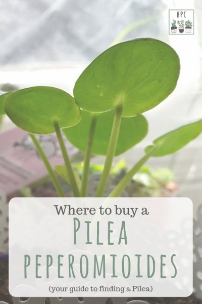 Pilea peperomioides for sale – plants