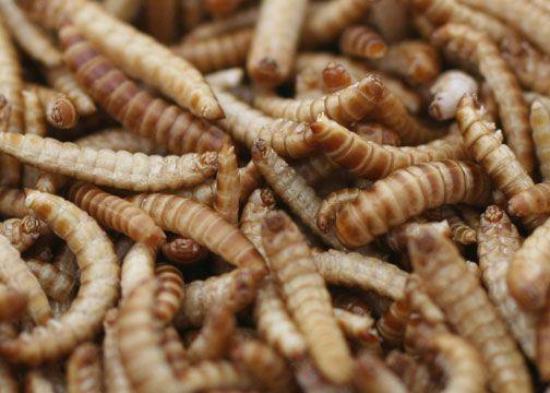 Zelf meelwormen thuis kweken op op te eten
