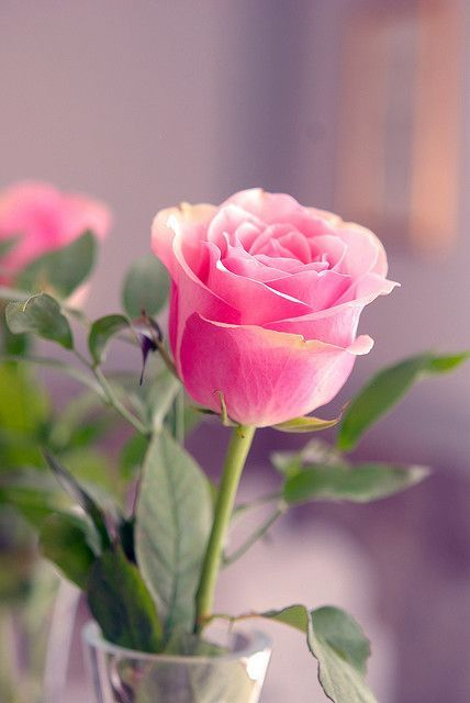 Flower Name: Rose Height: 28inches tall Color: Wine ... |Tall Pink Roses Single