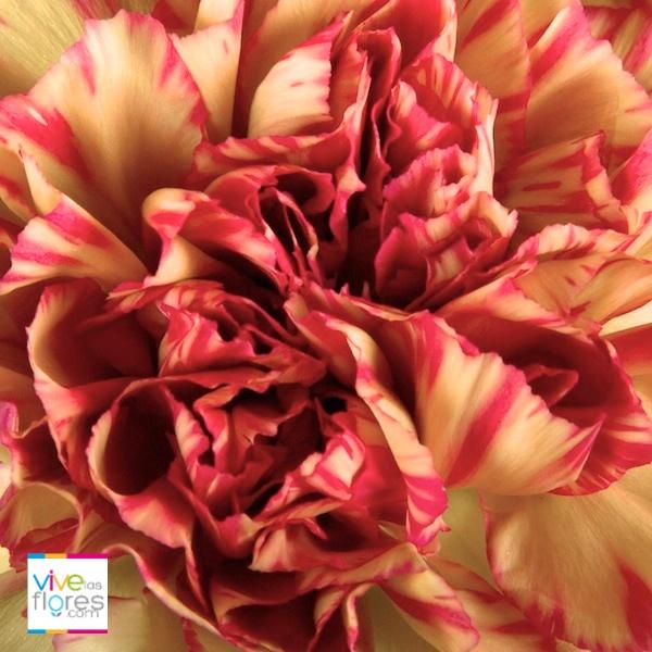 Colores sorprendentes para compartir emociones. Nuestro clavel bicolor amarillo demuestra diversión, consíguelo en Vivelasflores.com