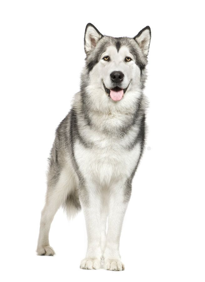 Alaskan Malamute In Front Of A White Background Aff