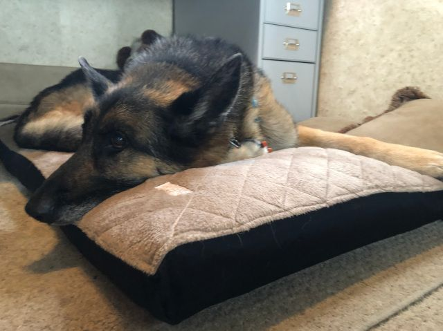 The Komfy K9 Dog Bed All Comfort No Stink Tripawds Gear