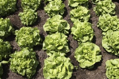 What Green Lettuce Is the Most Nutritious?   LIVESTRONG.COM