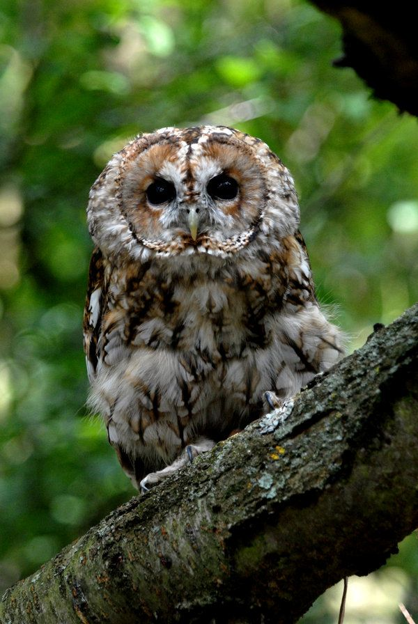 Tawny Owl Perch by Shadow-and-Flame-86.deviantart.com on @DeviantArt