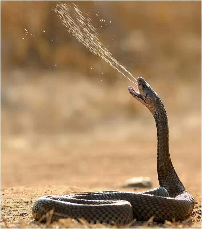spitting cobra!?!? now thats a snake to be scared of;)