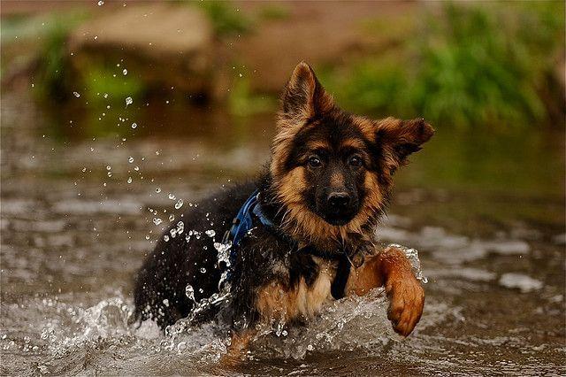 German Shepherd Dog Puppy in the water