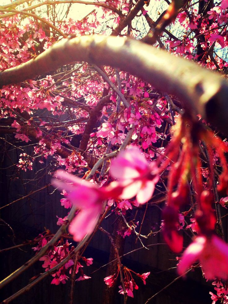 Weeping Cherry Tree in spring, Newquay