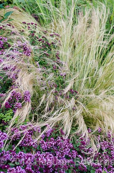 14 best wrights terrace images on pinterest plants for Wild ornamental grasses