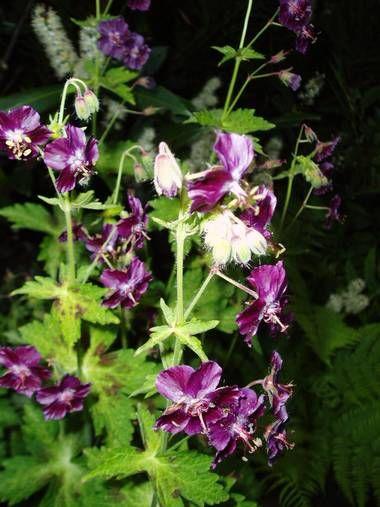Storkenebb (Geranium)