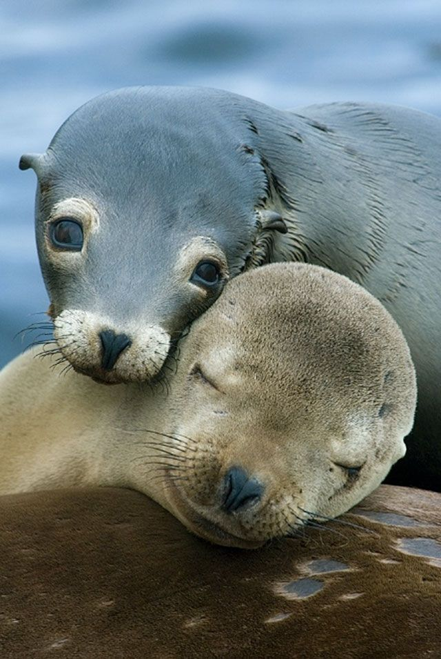 Adorable! Sea Lions settling down for a nap in Monterey Bay, California, USA  by Kevin Schafer.