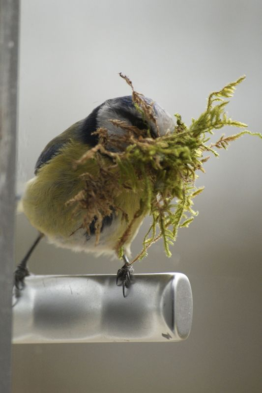 Great Tit with nesting material | Animals by P&P ...