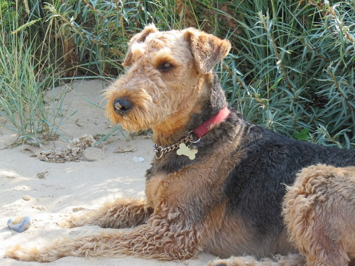 253 Best Airedale Terriers Images On Pinterest Airedale