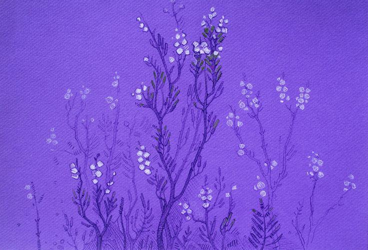 #calluna vulgaris #sketch