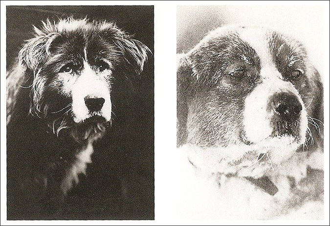 Endurance dogs Owd Bob and Soldier | Antarctica ...